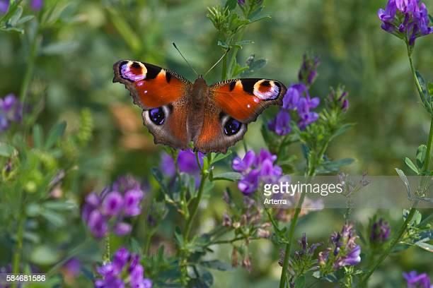 European Peacock butterfly on wildflowers in meadow, Belgium.