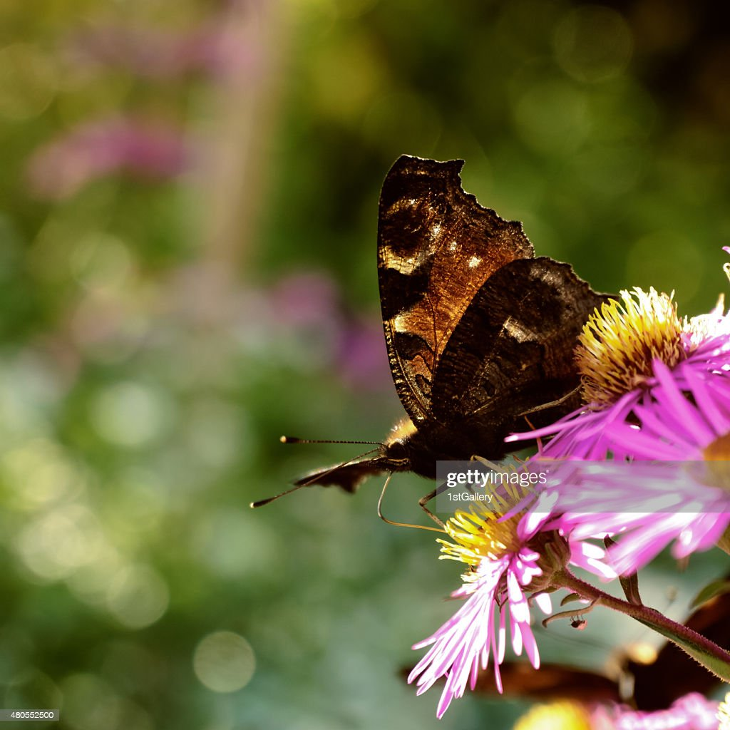 Mariposa pavo real Europea : Foto de stock