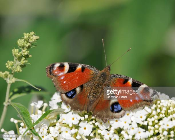 European Peacock (Inachis io) on Buddleja davidii, summer lilac, butterfly-bush or orange eye (Buddleja davidii), Bavaria, Germany