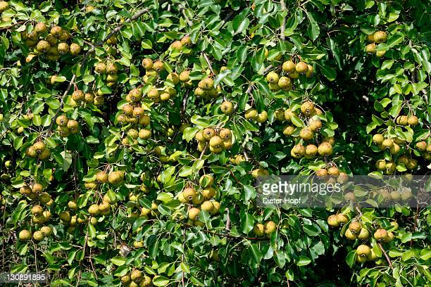 European Pear (Pyrus pyraster) in an orchard meadow, Allgaeu, Bavaria, Germany, Europe