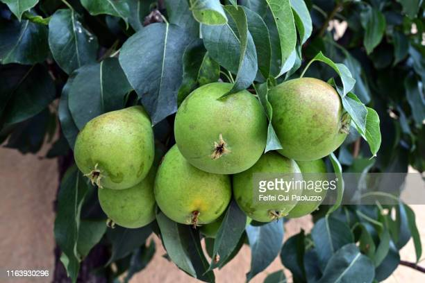 european pear tree and pear fruit - unripe stock pictures, royalty-free photos & images