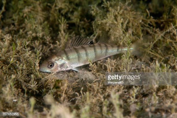 European perch, Perca fluviatilis, in freshwater lake