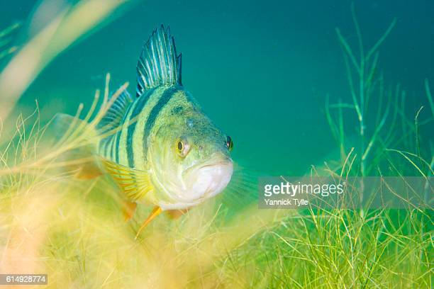 european perch underwater in schladitzer see - image stock-fotos und bilder
