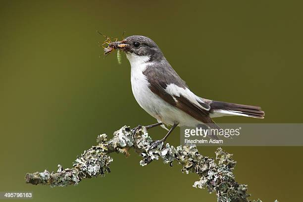 European Pied Flycatcher -Ficedula hypoleuca-, male with an insect in its beak perched on a branch, Altenseelbach, Neunkirchen, North Rhine-Westphalia, Germany
