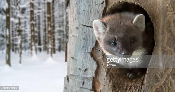 European pine marten emerging from woodpecker's nest hole in tree in winter
