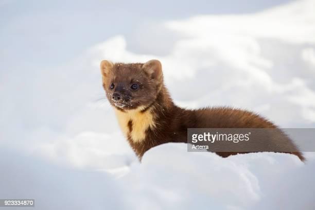 European pine marten hunting in the snow in winter