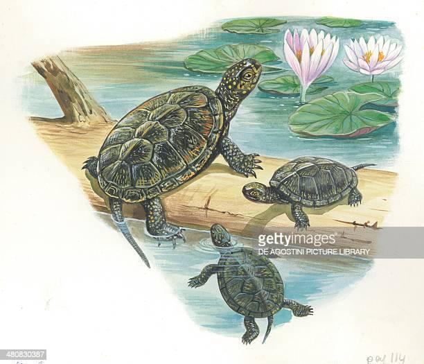 European pond turtle illustration