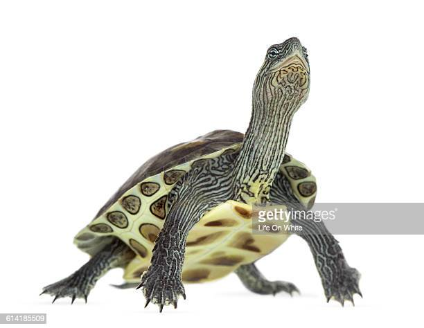 European pond turtle isolated on white