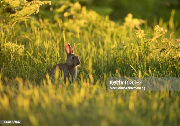 a european rabbit (oryctolagus cuniculus) comes out of his burrow at sunset in richmond park, richmond, greater london, england, united kingdom, europe - alex saberi stock-fotos und bilder