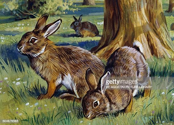 European Rabbit Leporidae drawing