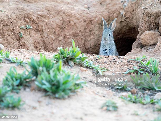 European Rabbit (Oryctolagus cuniculus), Looking from his burrow hole.  Spain.