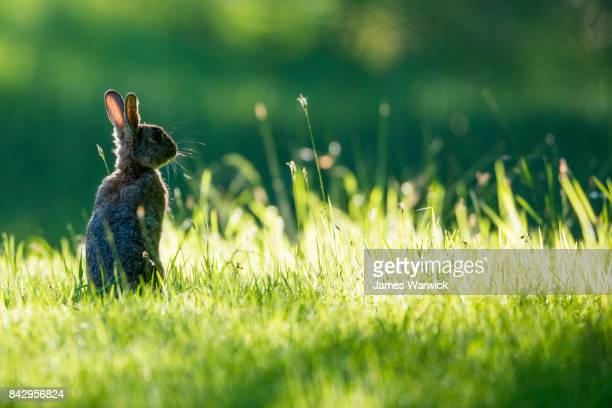 european rabbit on alert at dawn - rabbit stock pictures, royalty-free photos & images