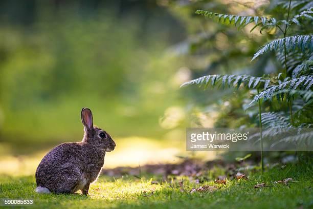 European rabbit on alert at last light