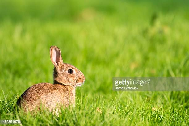 European rabbit on alert