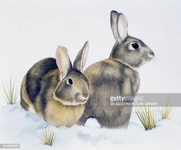 European Rabbit or Common Rabbit Leporidae drawing