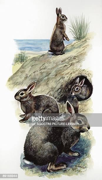 European Rabbit outside den illustration