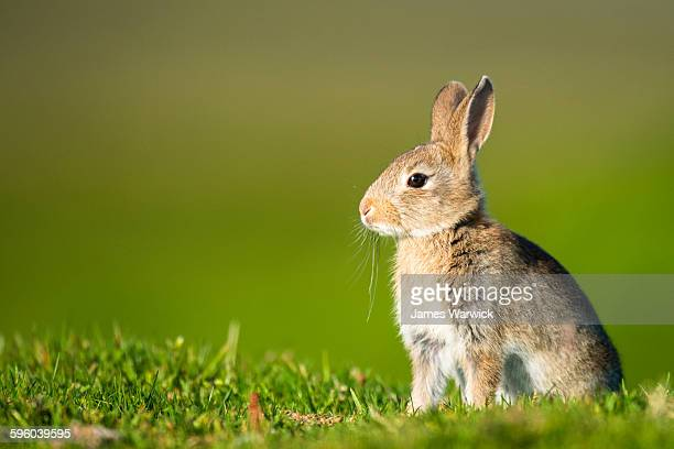 european rabbit - animals in the wild stock pictures, royalty-free photos & images