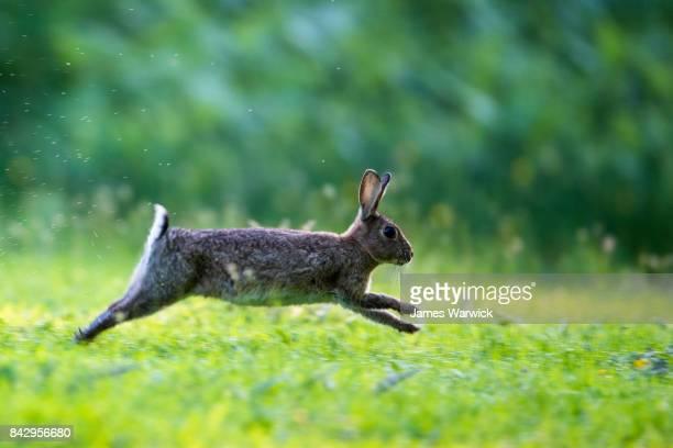 european rabbit running - lagomorphs stock pictures, royalty-free photos & images