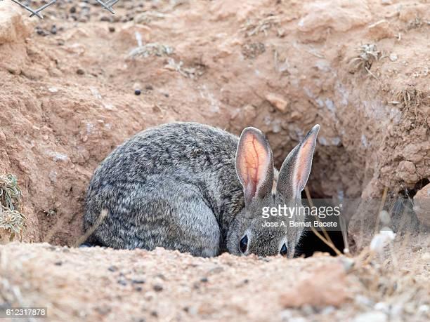 European Rabbit (Oryctolagus cuniculus), Spain.  Excavating his burrow