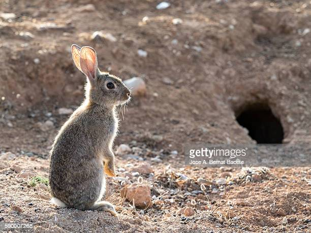 European Rabbit (Oryctolagus cuniculus), Spain. Up on two legs sniffing the air