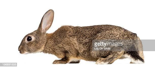 European rabbit walking