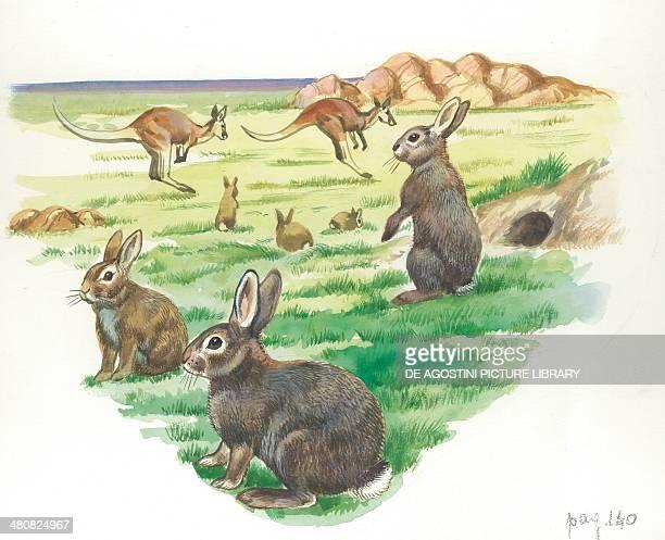 European Rabbits illustration