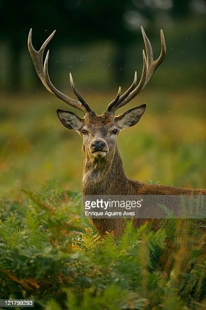 european red deer (cervus elaphus), england - antler stock pictures, royalty-free photos & images
