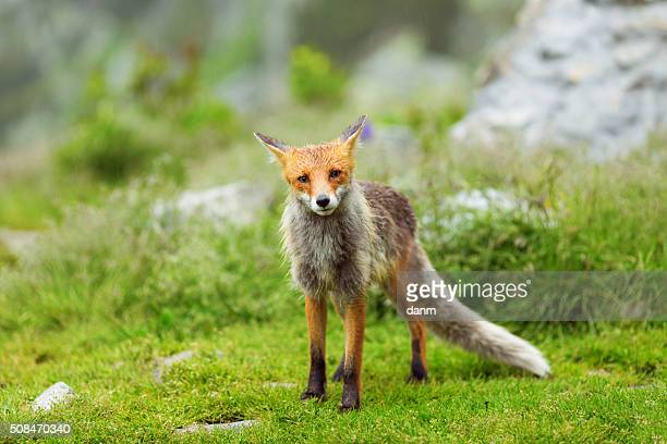 european red fox at the mountain among flowers - impatience flowers stock pictures, royalty-free photos & images