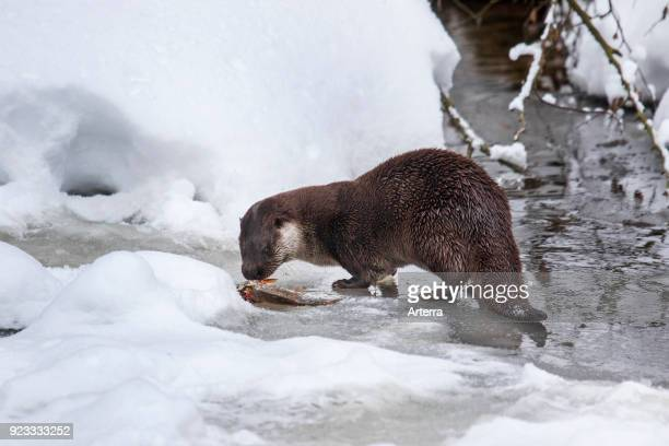 European river otter eating caught fish on riverbank in the snow in winter