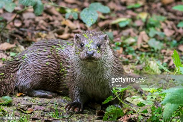 European River Otter in forest