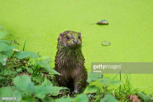 European River Otter in pond covered in duckweed