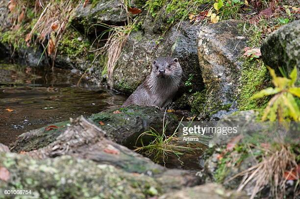 European River Otter leaving water from brook