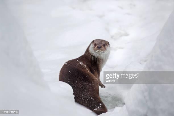 European river otter on riverbank in deep snow in winter