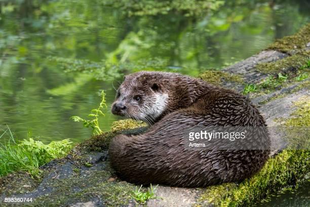 European River Otter resting on log over pond