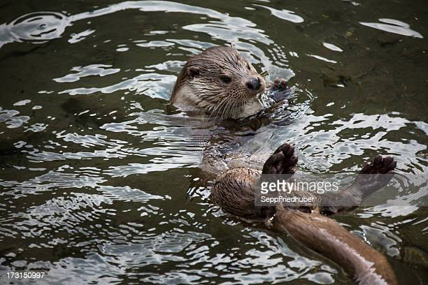 european river otter swimming in a creek - river otter stock pictures, royalty-free photos & images