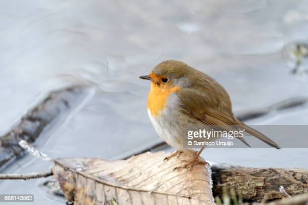 European Robin by a stream