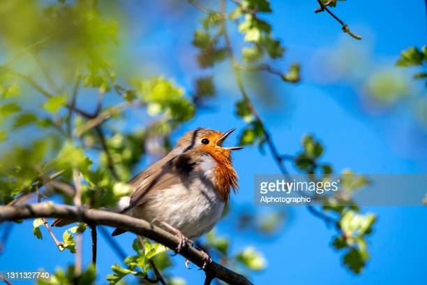 european robin close up - 2021 stock pictures, royalty-free photos & images