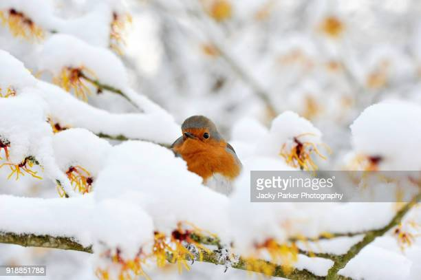 european robin, erithacus rubecula or robin red breast on a witch hazel branch in the snow - christmas scenes stock photos and pictures