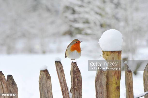 european robin, erithacus rubecula or robin red breast resting on a wooden fence in the snow - pettirosso foto e immagini stock