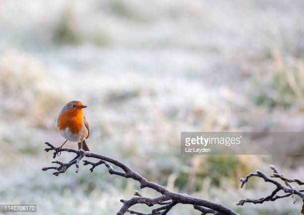 a european robin, erithacus rubecula, perching on a frosty branch with a defocussed snowy background. - bird stock pictures, royalty-free photos & images
