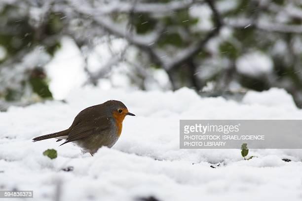 european robin erithacus rubecula - photostock stock photos and pictures