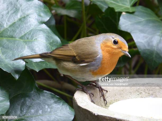 European Robin in Garden with Seeds -  Erithacus rubecula