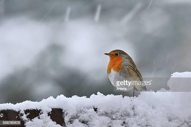 European Robin in the snow in winter