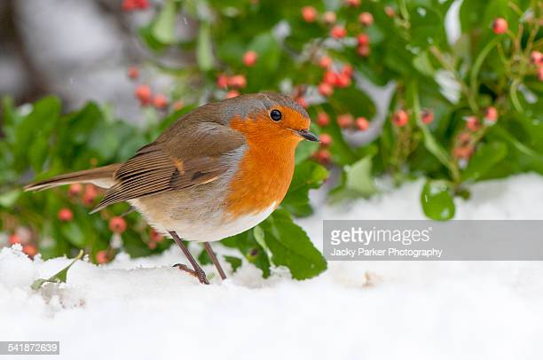European robin in the snow
