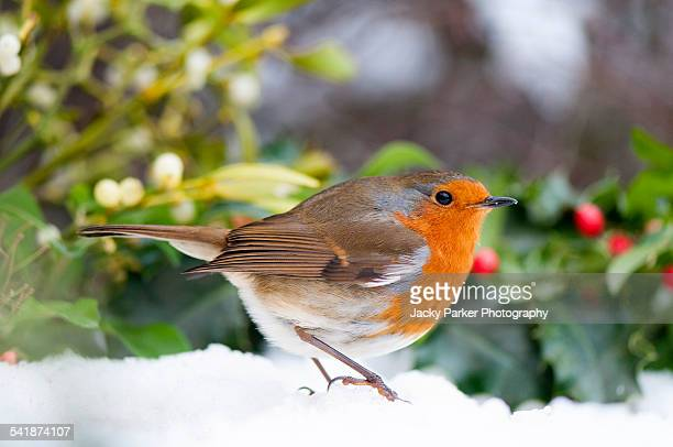 european robin in the snow - what color are the berries of the mistletoe plant stock pictures, royalty-free photos & images