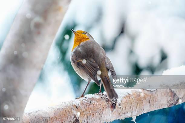 European robin in the winter snow
