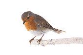 European robin (Erithacus rubecula) isolated on a white