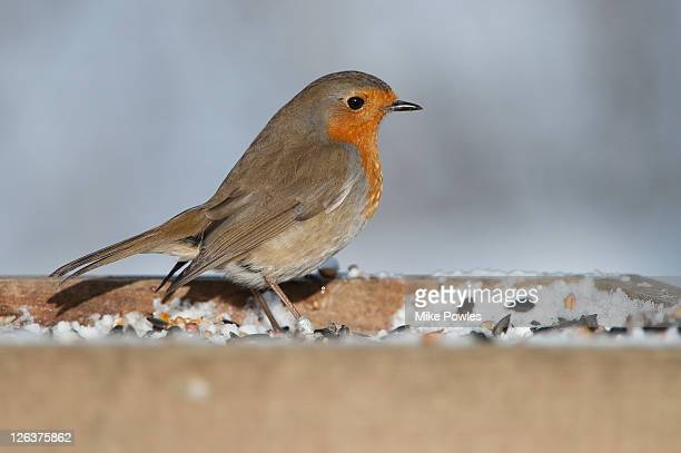 european robin (erithacus rubecula), norfolk, uk - january stock pictures, royalty-free photos & images