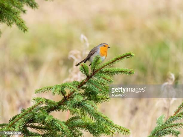 european robin on fir branch - conifera foto e immagini stock