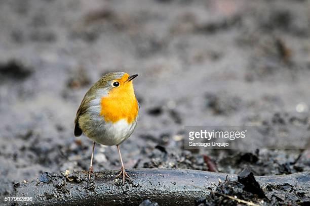 European Robin on the ground